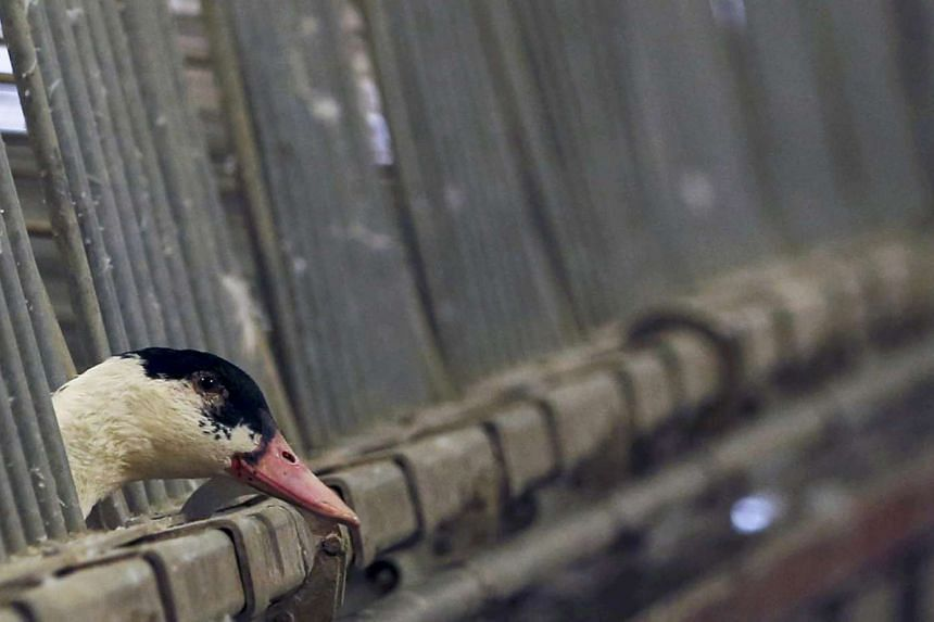 A duck is seen in its enclosure at a poultry farm in Doazit, south-western France.