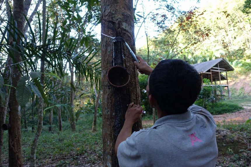 A man tapping rubber in Surat Thani province, southern Thailand.