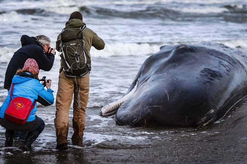 People take pictures of a sperm whale on the island of Texel, The Netherlands, on Jan 13, 2016.