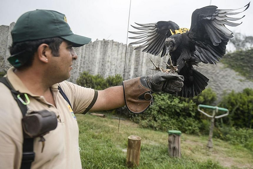A falconer in Lima training a vulture. Equipped with GPS and cameras, vultures are helping the authorities in the Peruvian capital track illegal dumps as well as raising public awareness about environmental problems.