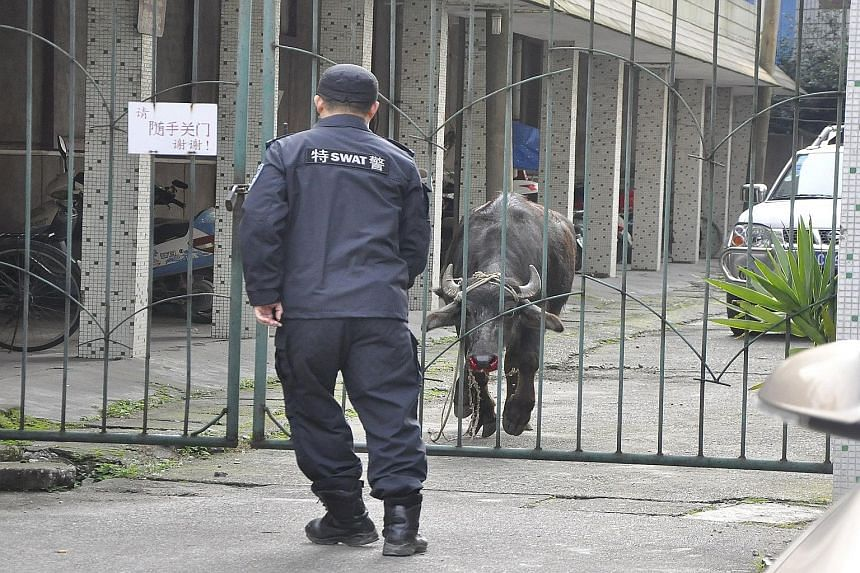 An iron gate separating a buffalo and a policeman from the Special Weapons and Tactics (Swat) unit at a parking area in Liuzhou, Guangxi Zhuang Autonomous Region, China, on Monday. According to local media, the buffalo was found running along the str