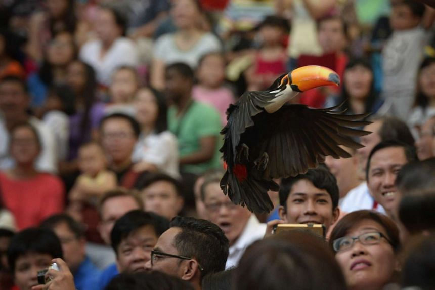 A toucan flies into the crowd at the High Flyer Show at Jurong Bird Park.