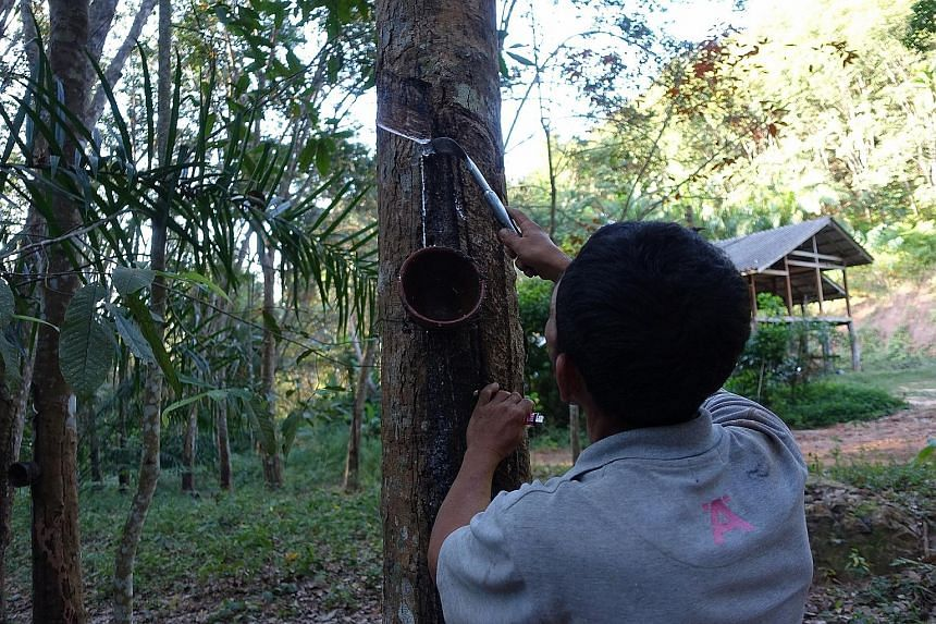 A rubber tapper in southern Thailand's Surat Thani province. Earlier this week, a network of rubber farmers from the south threatened to protest if their demand for government aid was not met.