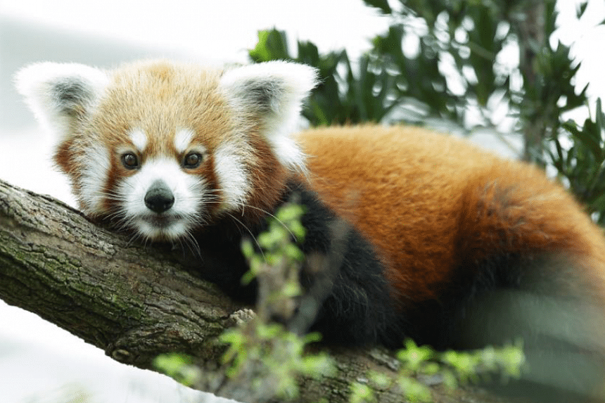 Poonya the Red Panda had been suffering from gut infection and was under treatment since Jan 7, 2016.