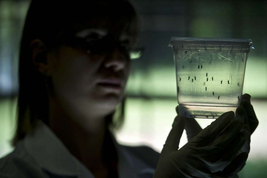 A researcher looking at Aedes aegypti mosquitoes kept in a container at a lab Sao Paulo, Brazil, on Jan 8.