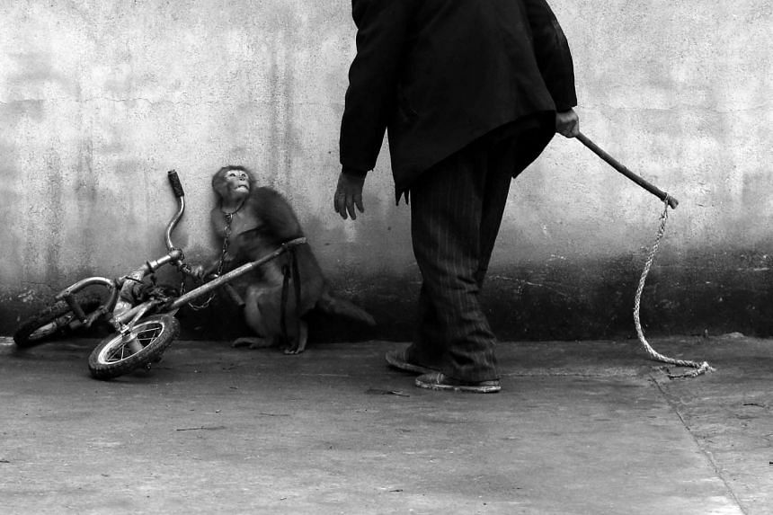 First Prize, Nature Category, Singles. A monkey cowers as a circus trainer approaches in Suzhou, Anhui province. With more than 300 troupes, Suzhou is known as the home of the Chinese circus. The authorities there have announced plans for circus ente