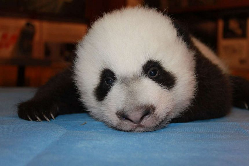 Giant panda cub Bei Bei is weighed during a checkup in this file photo.