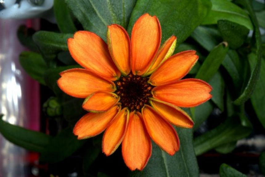 Astronaut Scott Kelly managed to get an orange zinnia to bloom on board the International Space Station.