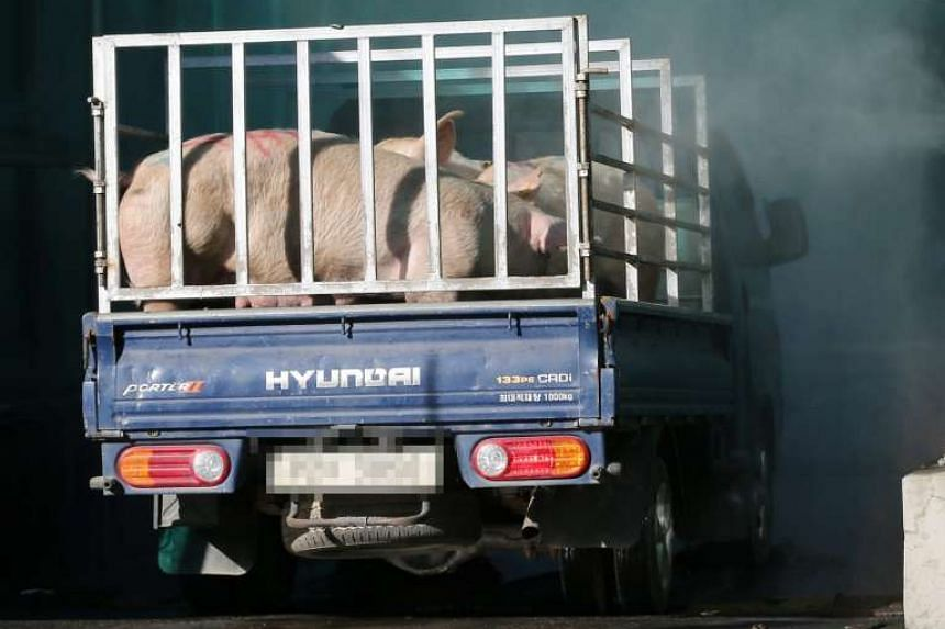 A truck carrying pigs drives through a disinfection tunnel at a livestock market.