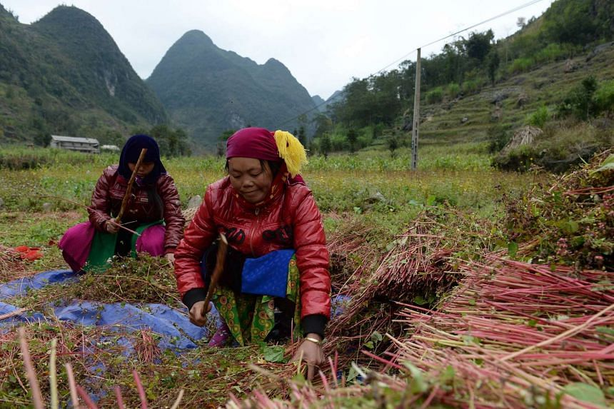Ethnic Hmong hill tribe minority women harvesting buckwheat on a field in the province of Ha Giang, Vietnam.
