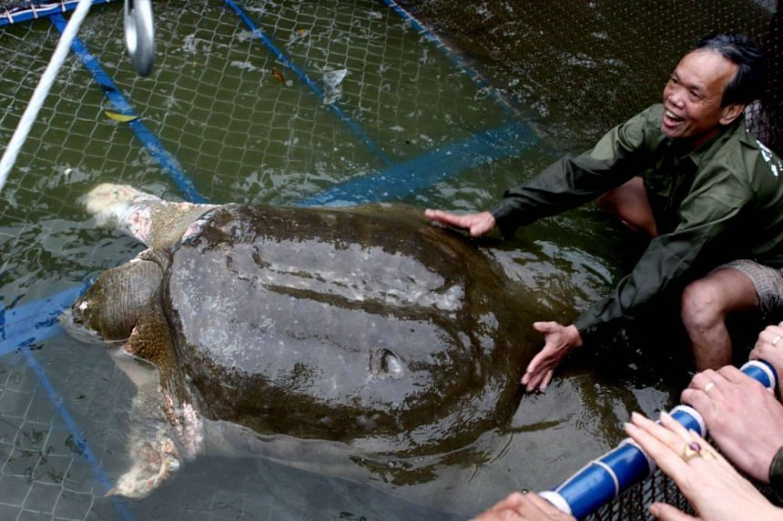 The sacred giant turtle (pictured), venerated as a symbol of Vietnam's independence struggle, has died, state media said on Jan 20, 2015.