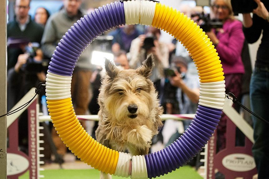 Chester, a Berger Picard, performing agility drills.
