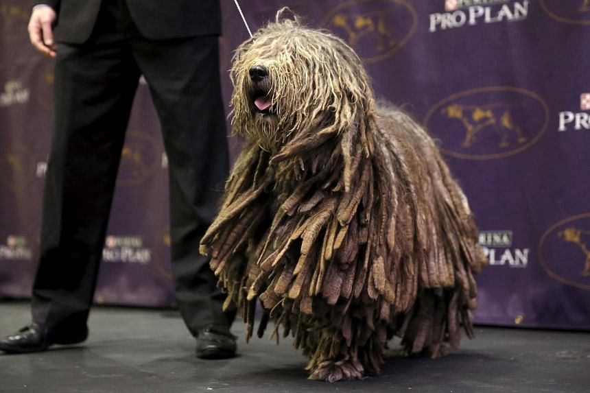 Uragano, a Bergamasco, is walked on stage at a news conference to introduce the seven new breeds of dogs that will be competing in the 2016 Westminster Kennel Club Dog Show on Jan 21, 2016.