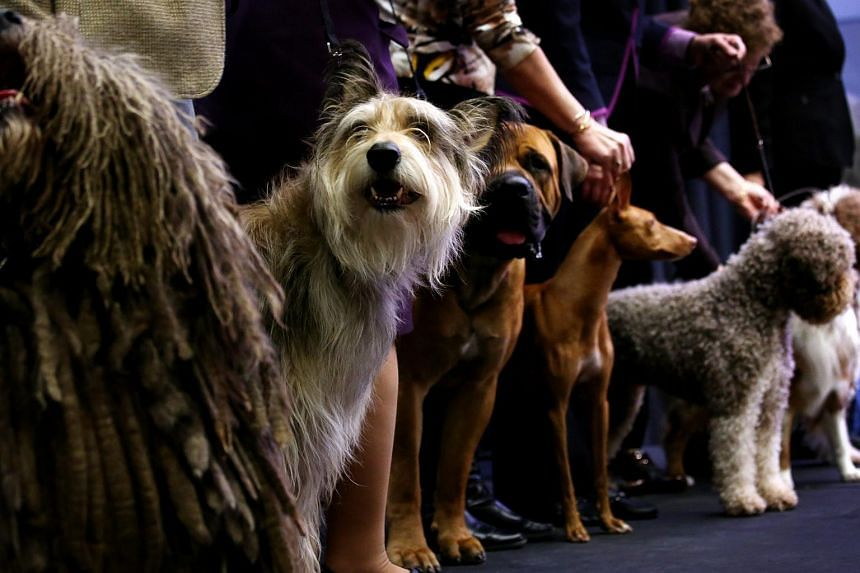New breeds of dogs including (from left) a Bergamasco, a Berger Picard, a Boerboel, a Cirneco dell'Etna, and a Lagotto Romagnolo, posing during an event showcasing new breeds of dogs and events which will be part of the upcoming 140th annual Westmins