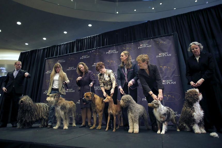 New breeds (from left) a Bregamasco, a Berger Picard, a Boerboel, a Cirneco dell'Etna, a Lagotto Romagnolo, a Miniature American Shepard and a Spanish Water Dog standing with their handlers.