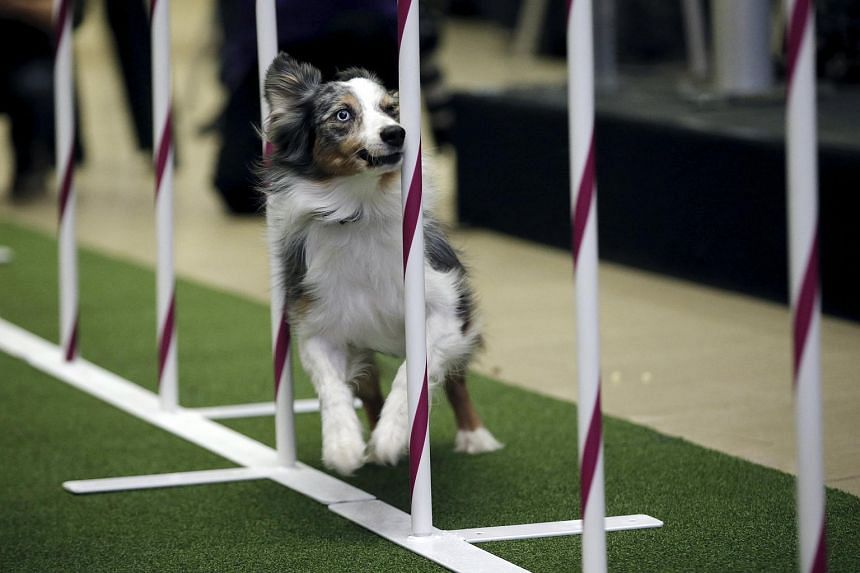 Sky, an Australian Shepard, running an obstacle course at a news conference ahead the 2016 Westminster Kennel Club Dog Show.