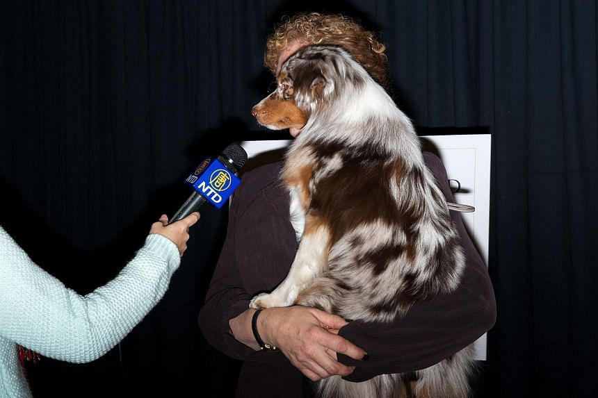 Cynthia Booth holds Rayna, a Miniature American Shepard, following the announcement that the Westminster Dog Show would introduce seven new dog breeds into the annual competition at Madison Square Garden on Jan 21, 2016 in New York City.