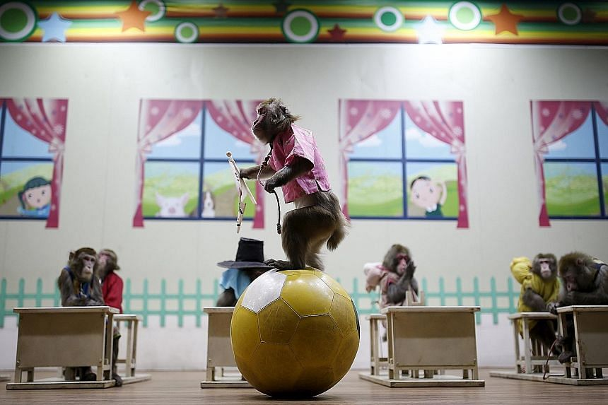 A performing monkey dressed in traditional Korean costume balancing on a ball during a show at the Monkey School in Goyang, South Korea, yesterday. The show was held in conjunction with celebrations for the coming Chinese New Year, which will be the