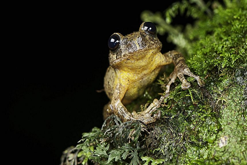 The undated image released by biologist S. D. Biju on Thursday shows a specimen of Frankixalus jerdonii, which belongs to a newly named genus of tree frogs that has been rediscovered in India more than a century after its members were thought to have