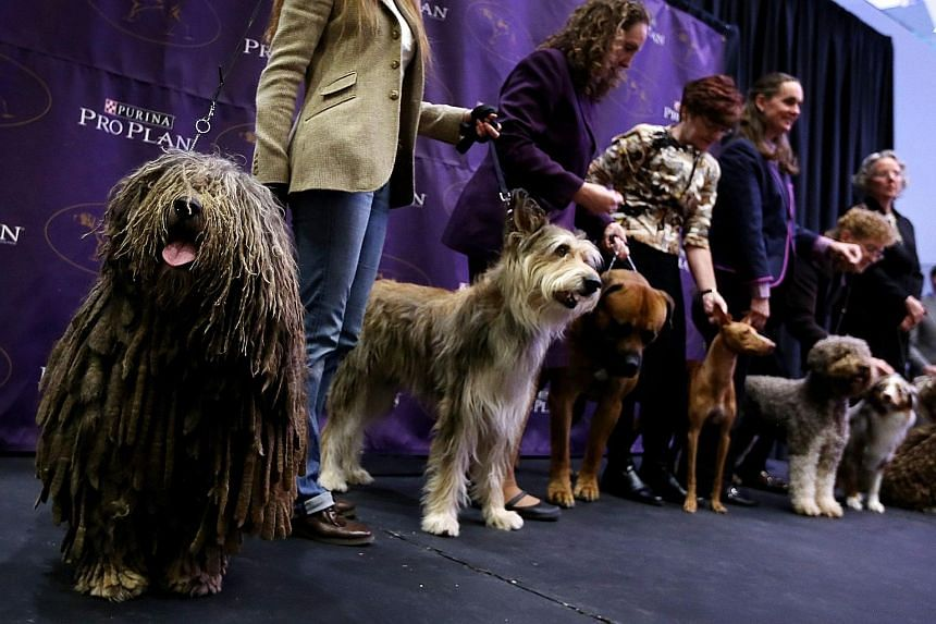 New breeds of dogs including (from left) a Bergamasco, a Berger Picard and a Boerboel are among this year's entrants to the Westminster Kennel Club dog show next month.
