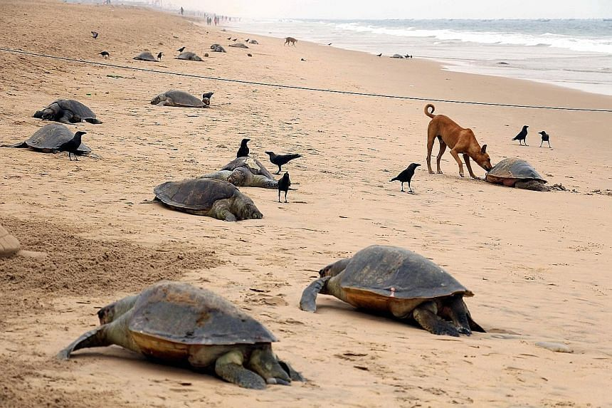 The carcasses of more than 150 olive ridley sea turtles were washed ashore near Pantha Niwas in Puri, some 65km from Bhubaneswar, India. They were recovered on Wednesday by government environmental officials. The coast of India's Odisha state is the