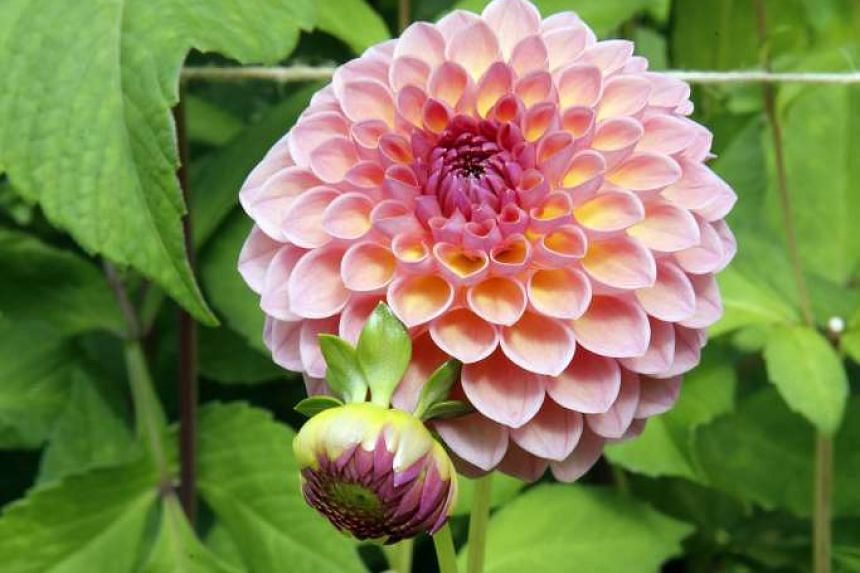 The Dahlia Pooh and Dahlia Coralie (above) are among the flowers on display.