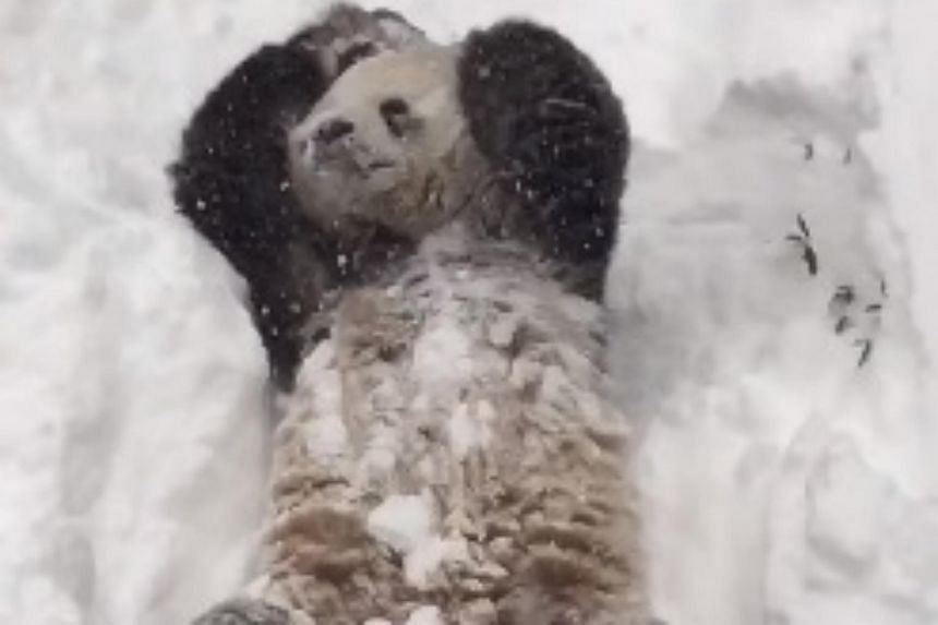 A video shared by the Smithsonian National Zoo in Washington of its giant panda, Tian Tian, enjoying the snowy weather in the US has quickly gone viral.