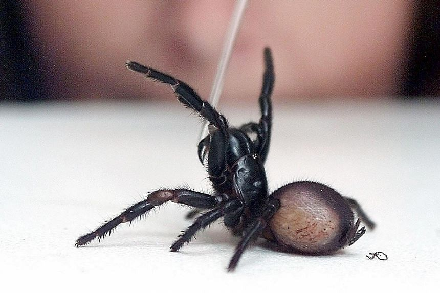 The deadly funnel-web spider is one of two species of venomous spiders found in Australia. But no deaths caused by them have been recorded since the introduction of anti-venoms in 1981.