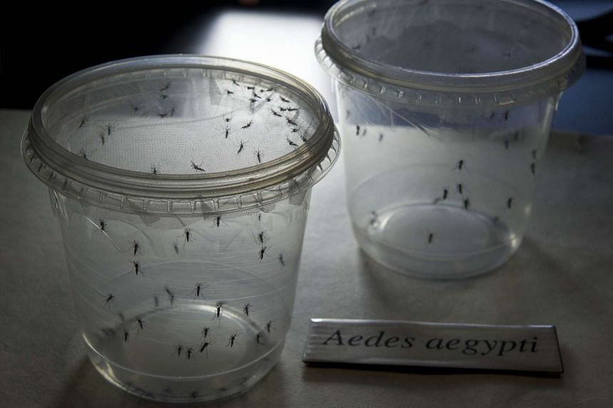Aedes mosquitoes kept in containers at a lab at the University of Sao Paulo.