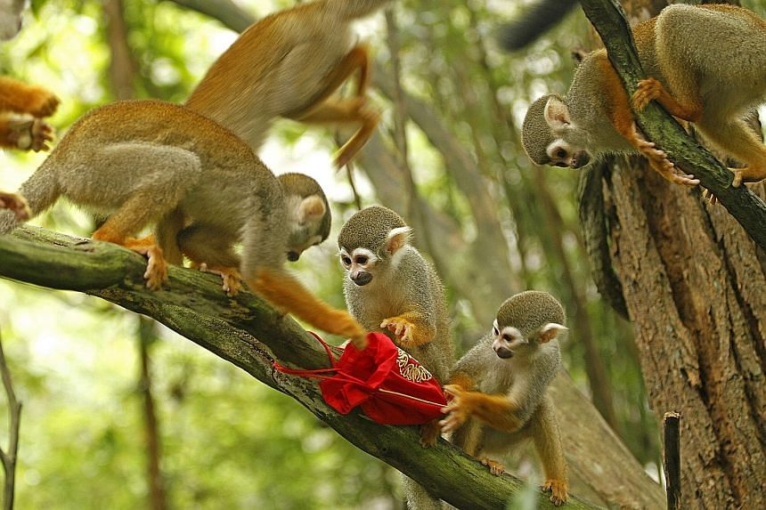 Monkeys at the River Safari checking out the nuts in their festive red packets. Visitors to all wildlife parks from Feb 6 to 9 can catch animals enjoying their Chinese New Year goodies.