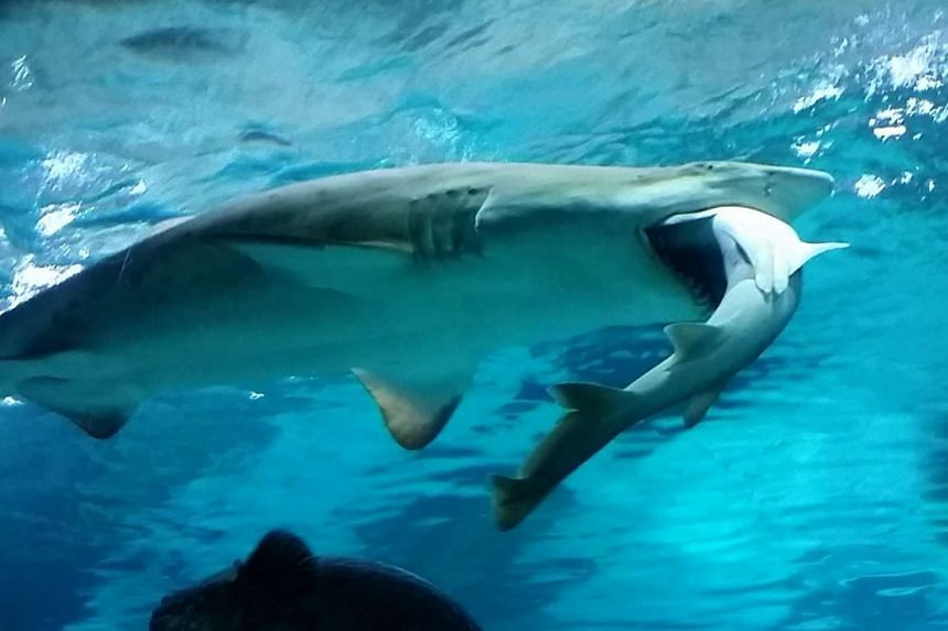 The sand tiger shark with the banded hound shark in its mouth at the Coex Aquarium in Seoul.