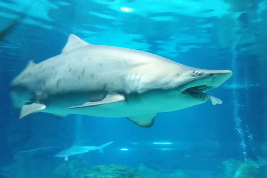 The tail end of a smaller male shark sticking out of the mouth of the female sand tiger shark.