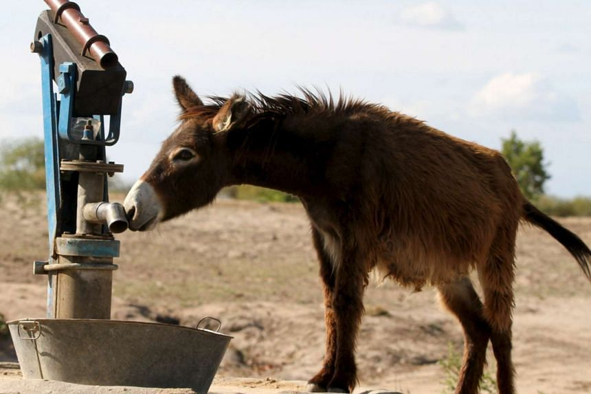 A donkey searching for water at a borehole in rural Masvingo, Zimbabwe, on Jan 21.