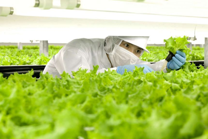 A worker checking lettuces at the indoor farm in Spread's Kameoka factory in Kyoto, Japan.