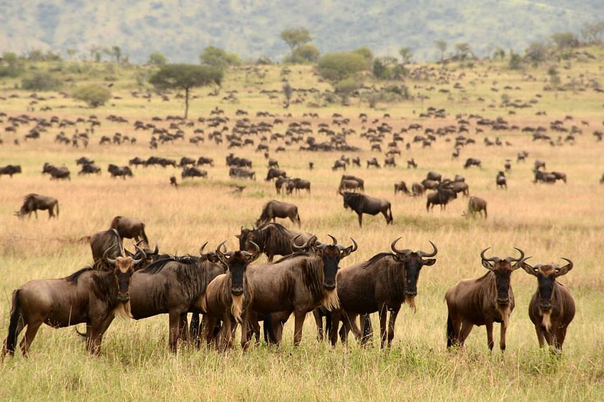 Wildebeest crowding the plain of the Seregenti National Park in Tanzania.