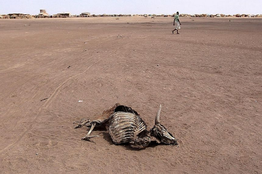 A cow carcass in Farado Kebele, one of the drought-stricken regions in Ethiopia, on Jan 26. According to the United Nations, Ethiopia needs emergency food aid as the scale of the emergency is too much for any single government to deal with. Adverse w