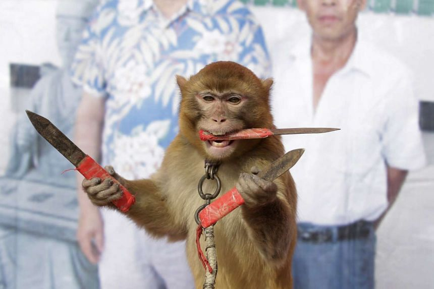 A monkey catches knives as it balances on a board during a daily training session at a monkey farm in Baowan village, China.