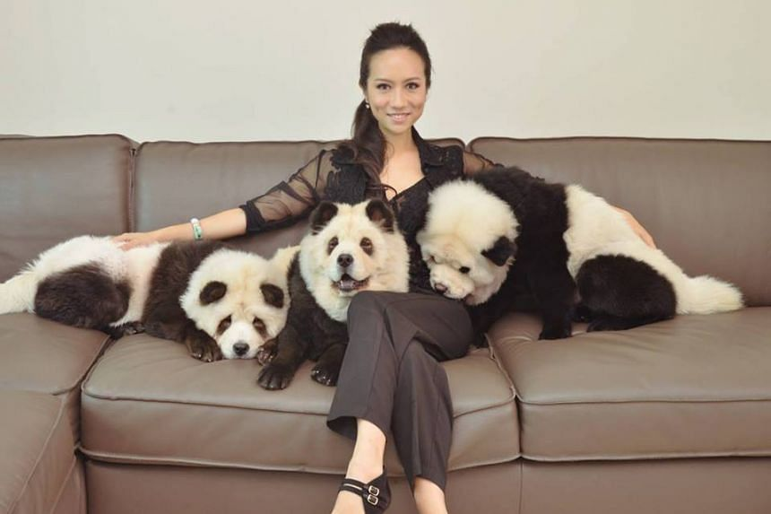 Ms Meng and her chow chows dyed to look like pandas.