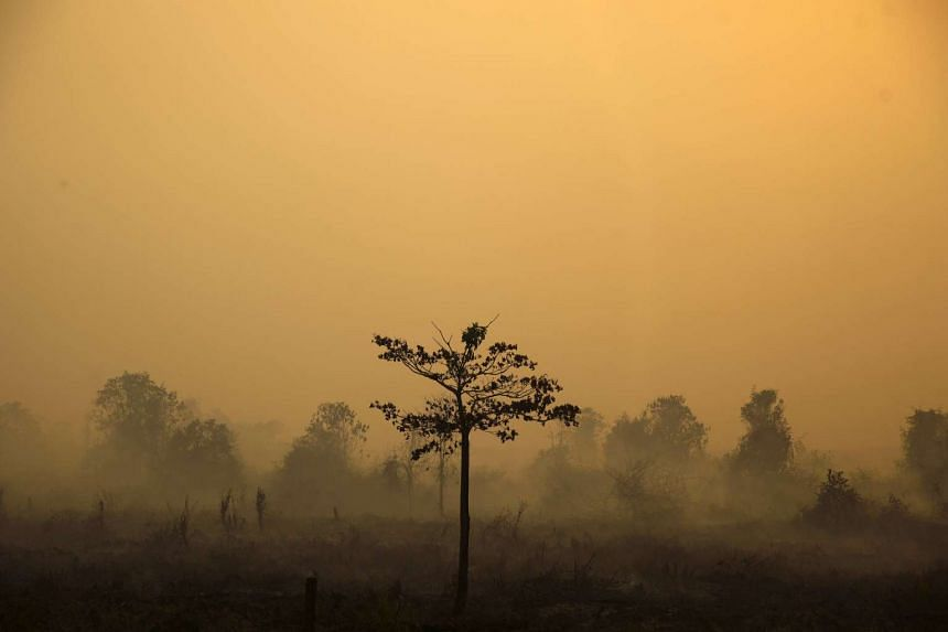A lone tree stands out amongst a patch of burnt land, in the haze hit Bangko Pusako district in indonesia.