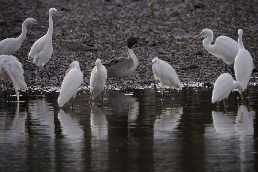 A Northern Pintail duck (centre) is seen among a group of egrets at the Sungei Buloh Wetland Reserve on Feb 3, 2016.