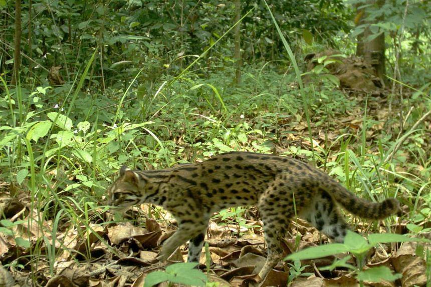 A leopard cat on Pulau Tekong.