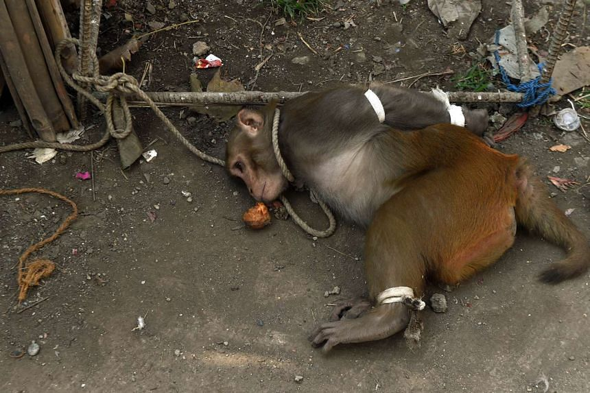A captured monkey is seen lying on the ground at a residential colony in Mumbai on Feb 5, 2016.