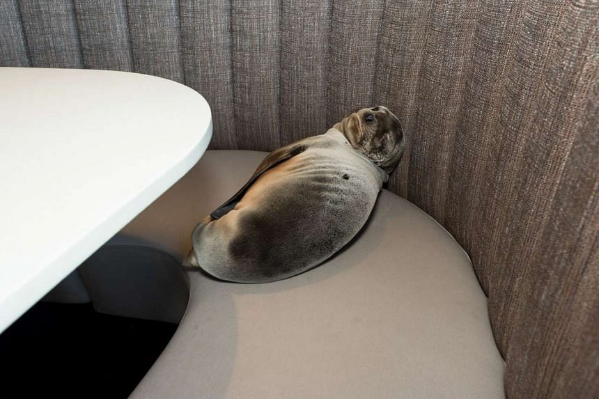 The sea lion pup was found sleeping in a booth at the iconic Marine Room restaurant in La Jolla, California, on Feb 4.