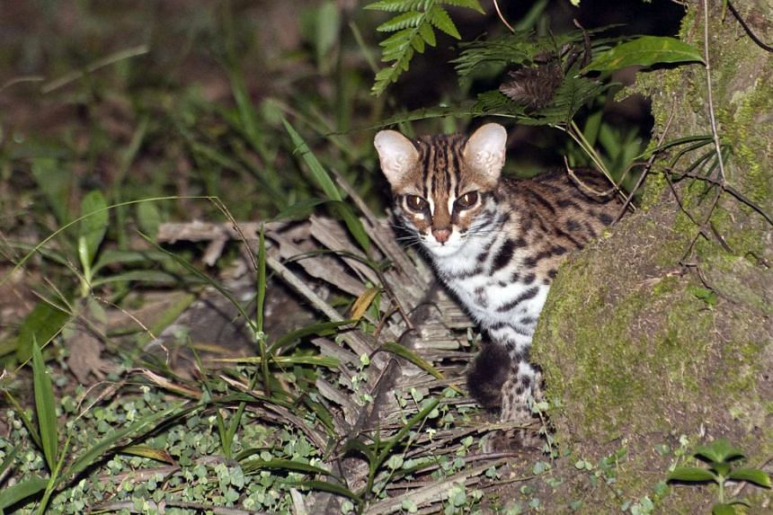 A leopard cat kitten on Pulau Tekong.