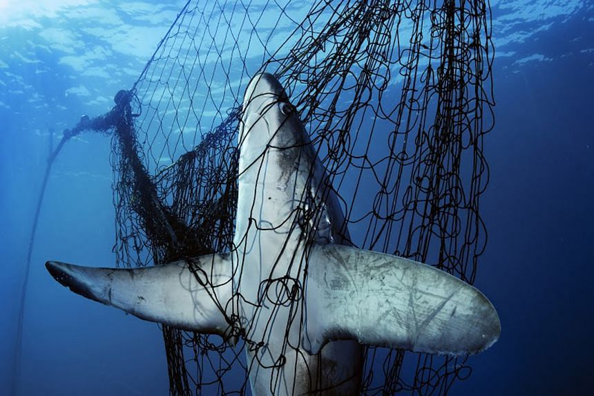 A dead thresher shark caught in a gill net in Mexico's Gulf of California.