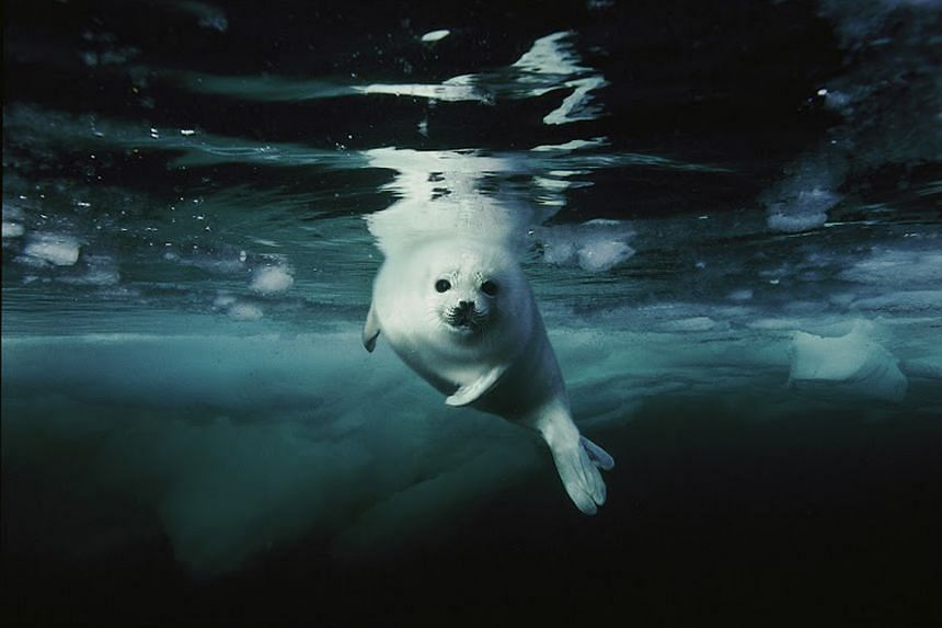 A harp seal pup making a first swim in the Gulf of St Lawrence, Canada.