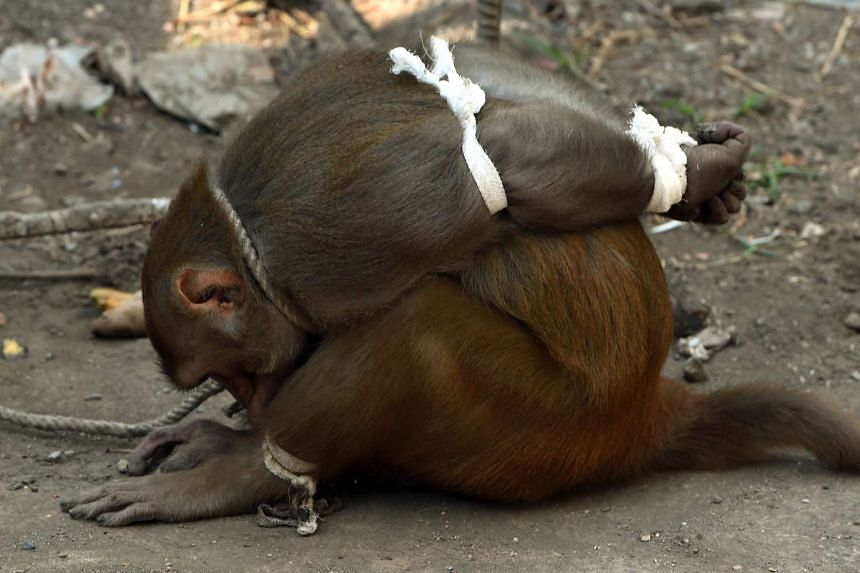 A captured monkey tries to untie his legs at a residential colony in Mumbai on Feb 5, 2016.