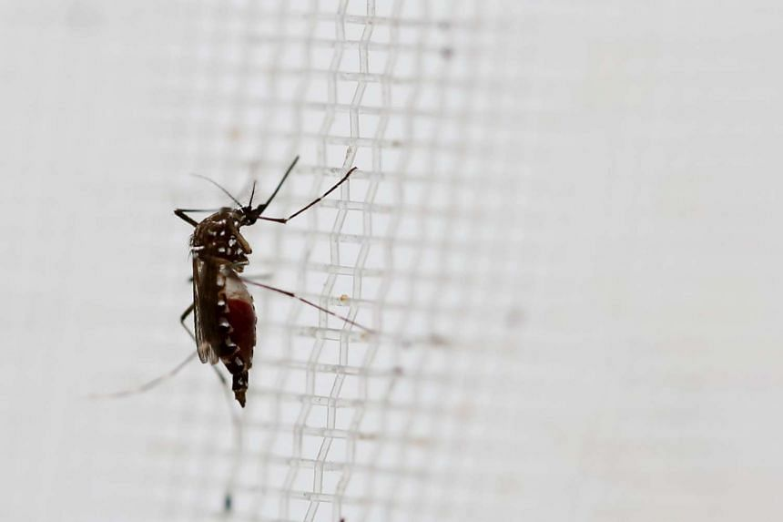 An aedes aegypti mosquitoes is seen in The Gorgas Memorial institute for Health Studies laboratory in Panama.