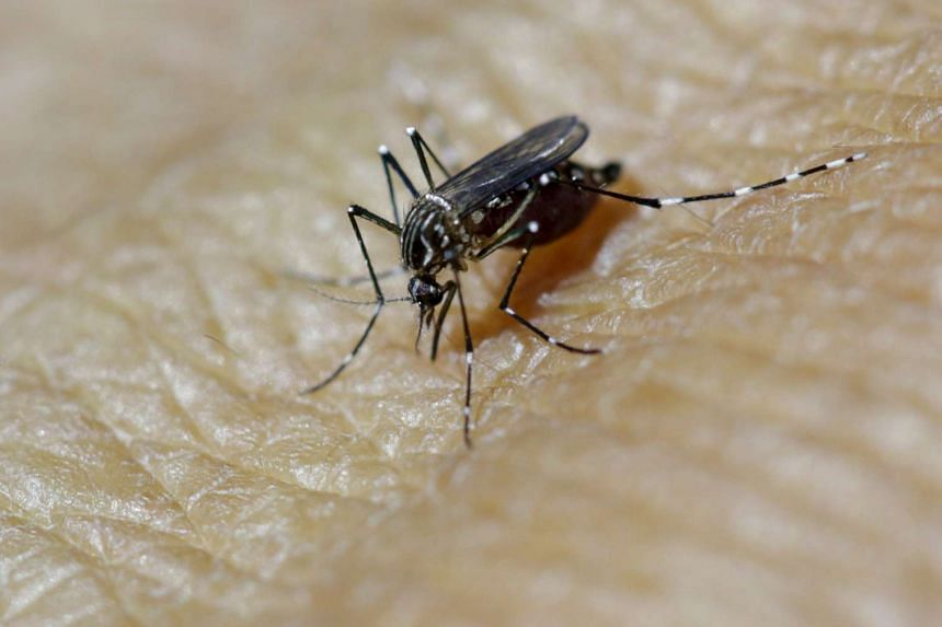 A female Aedes aegypti mosquito on a technician's forearm in a laboratory in Guatemala studying the Zika virus.
