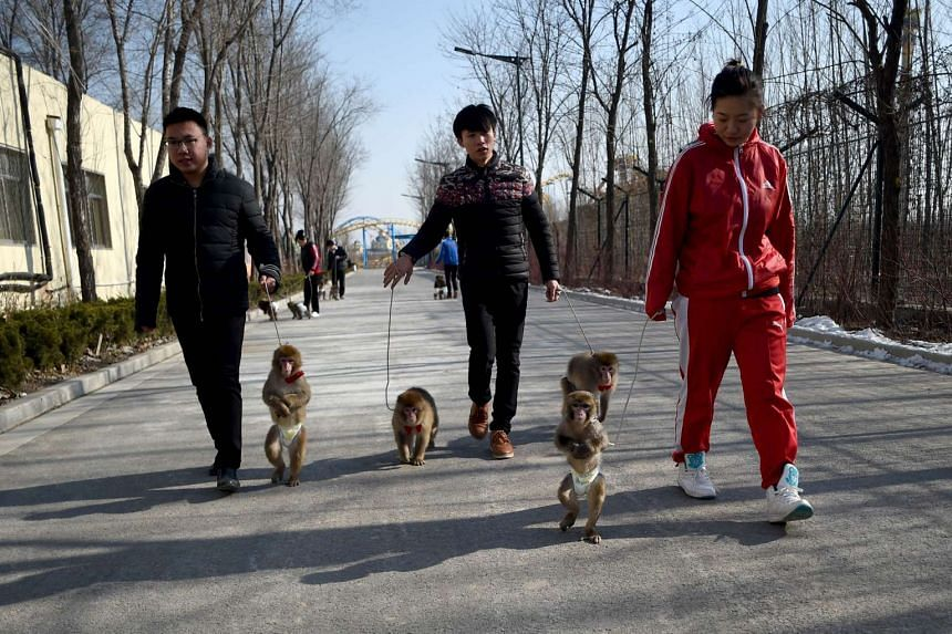 Monkeys being led for a walk by their trainers at a monkey training school in China's Shandong province on Jan 26, 2016.